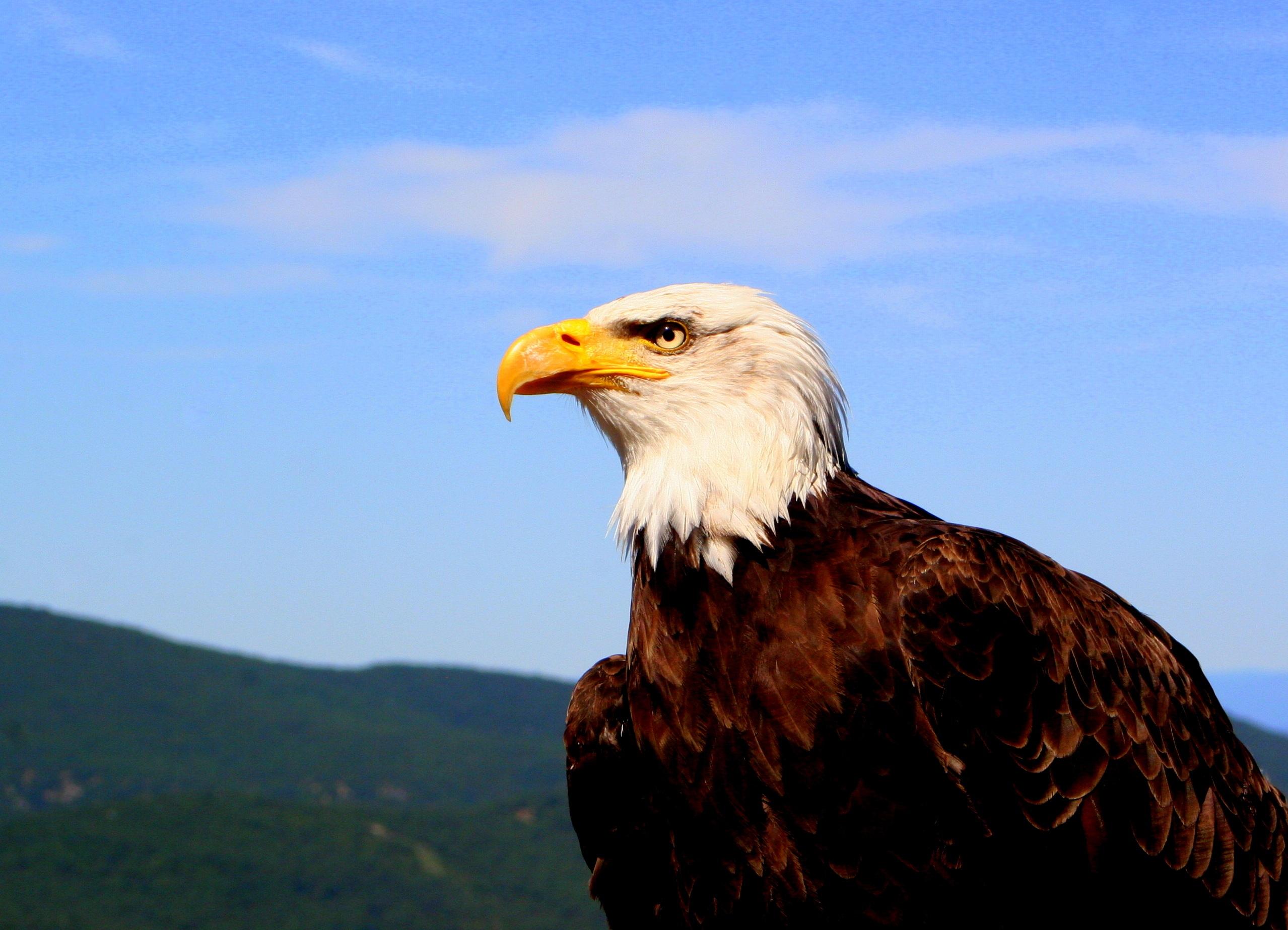 eagle-majestic-animal-bird-freedom-symbol-feather ...